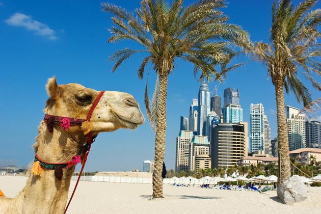 Kamel i Dubai