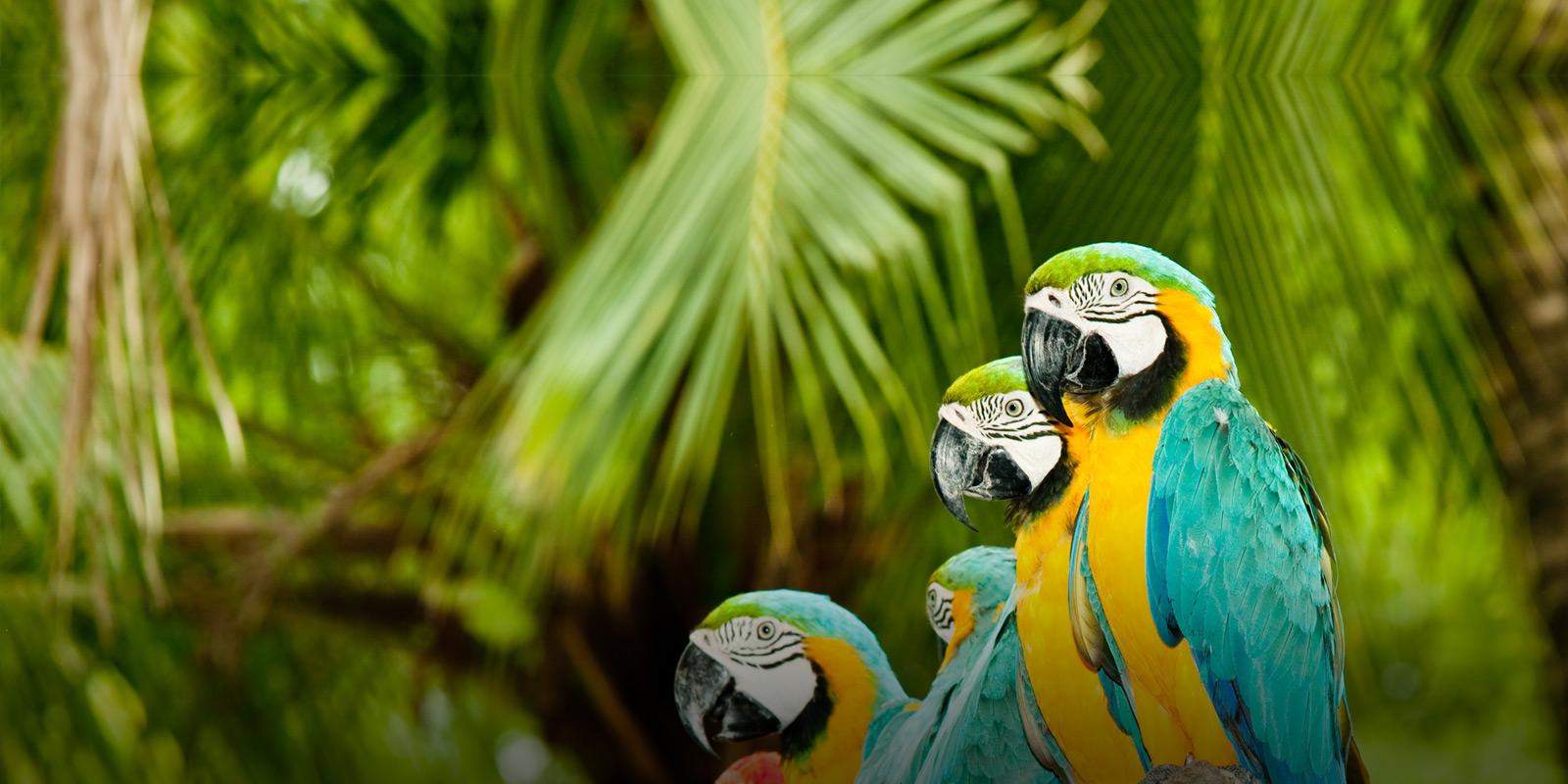 Parrots papegoja panama