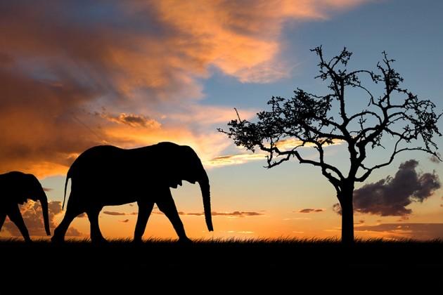 Elefanter i skymning