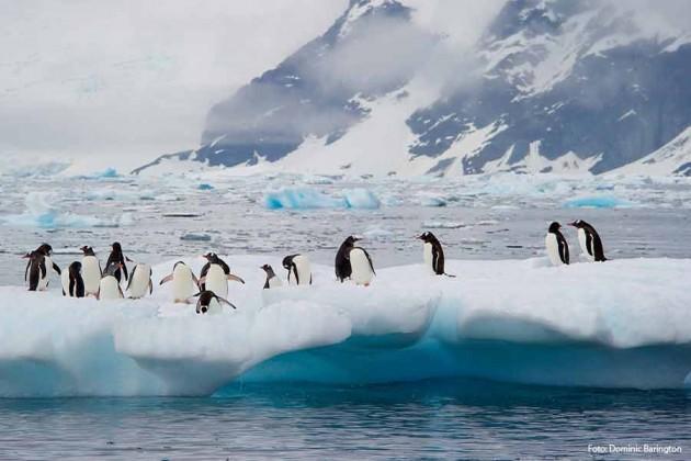 Pingviner Antarktis Hurtigruten Foto: Dominic Barrington