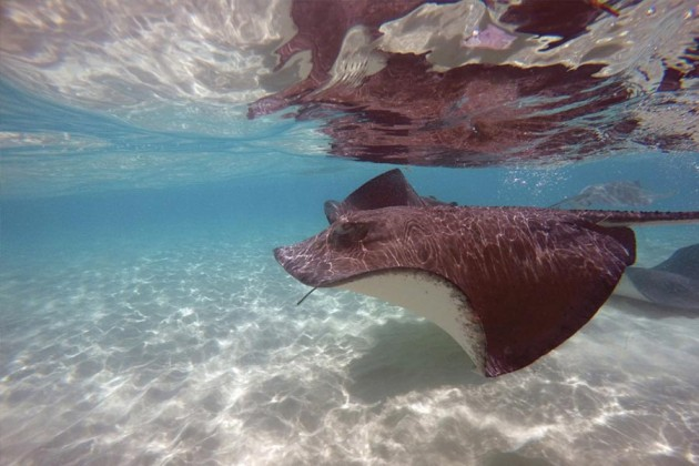 Stingray Karibien