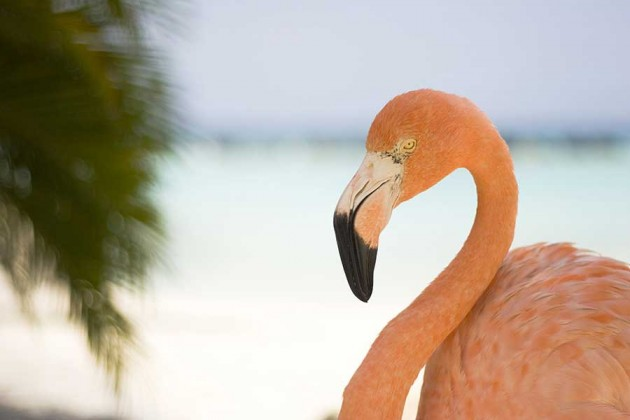 Flamingo på Aruba i Karibien