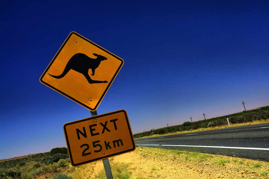 Kängurus i trafiken i Australien