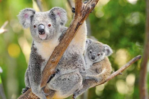Koalor i Australien