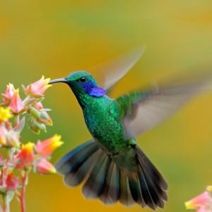 Kolibri i Centralamerika
