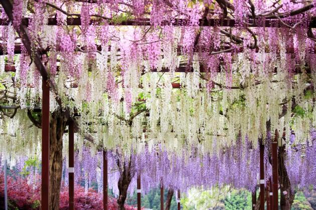Japanskt blåregn i full blomning.