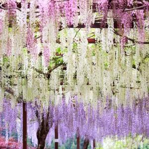 Wisteria – Blåregn Kina Japan