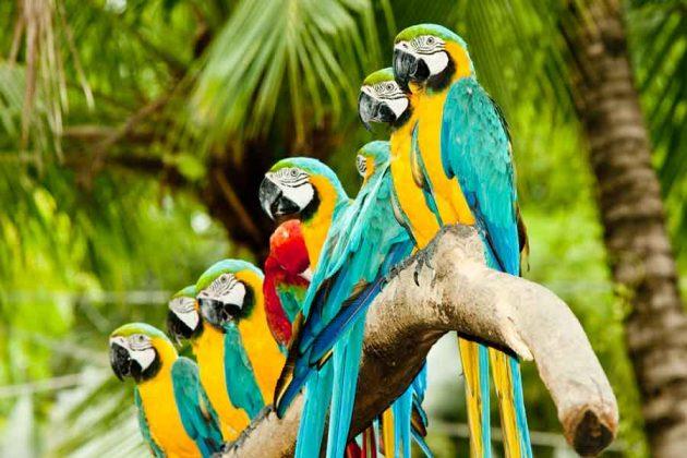 Panama Costa rica papegoja