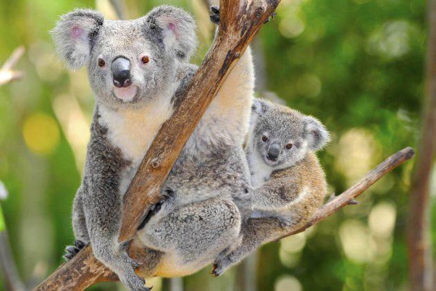 Koala med sin unge, sittandes i ett träd.