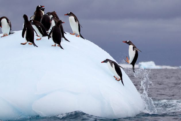 Pingviner på ett isberg i Antarktis.