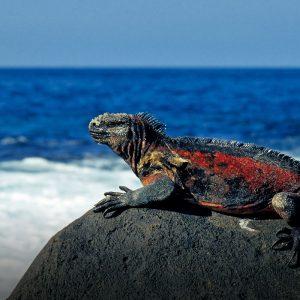 Galapagos Ecuador Leguan