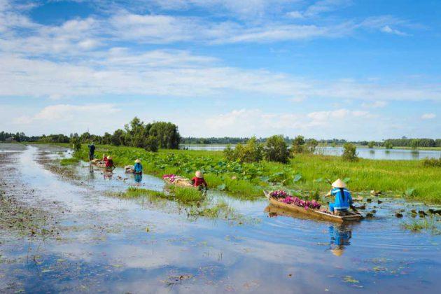 Mekongfloden, lotusskörd