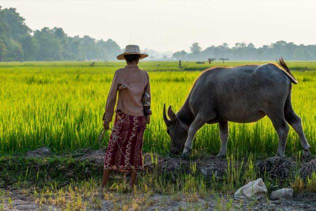Risfält Siem Reap