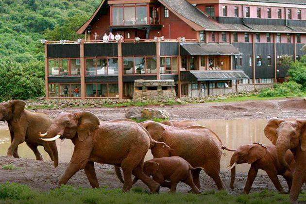 En grupp elefanter som passerar riktigt nära hotell Ark, Kenya.