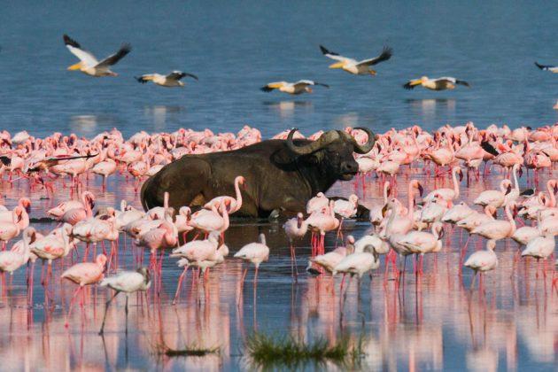 Vattenbuffel bland rosa flamingos i Lake Nakuru, Kenya.