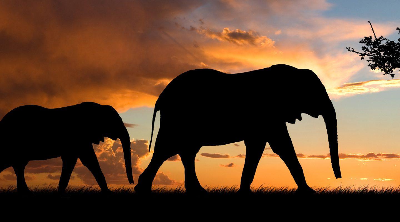 Siluetterna av två elefanter som vandrar i skymningen.