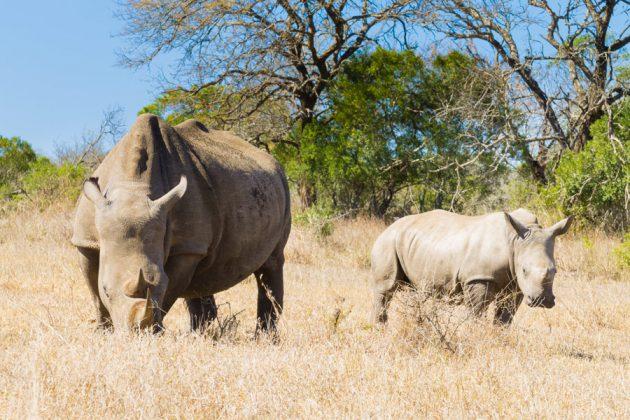Vita noshörningar i Hluhluwe-Imfolozi parken