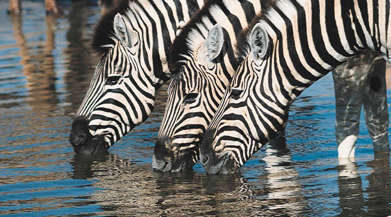 Zebror som dricker vatten.