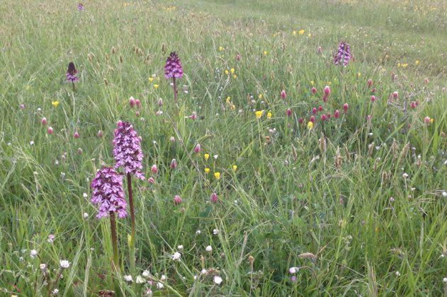 Vilda orkidéer