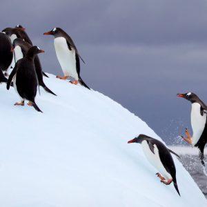 Pingviner hoppar upp från havet till isberg, i Antarktis.