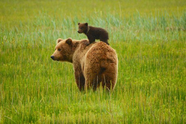 Björnmamma med sin unge i Alaska.