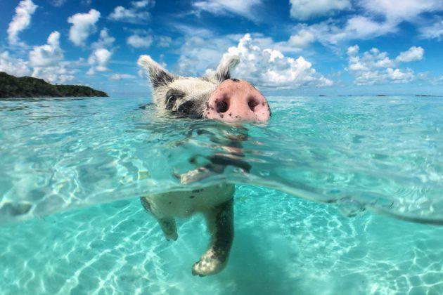 Simmande gris i Big Major-bukten på Bahamas.